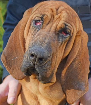 Bloodhound Closeup DSC_0618 WEB